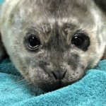 Rescued harbor seal from The Marine Mammal Centre.