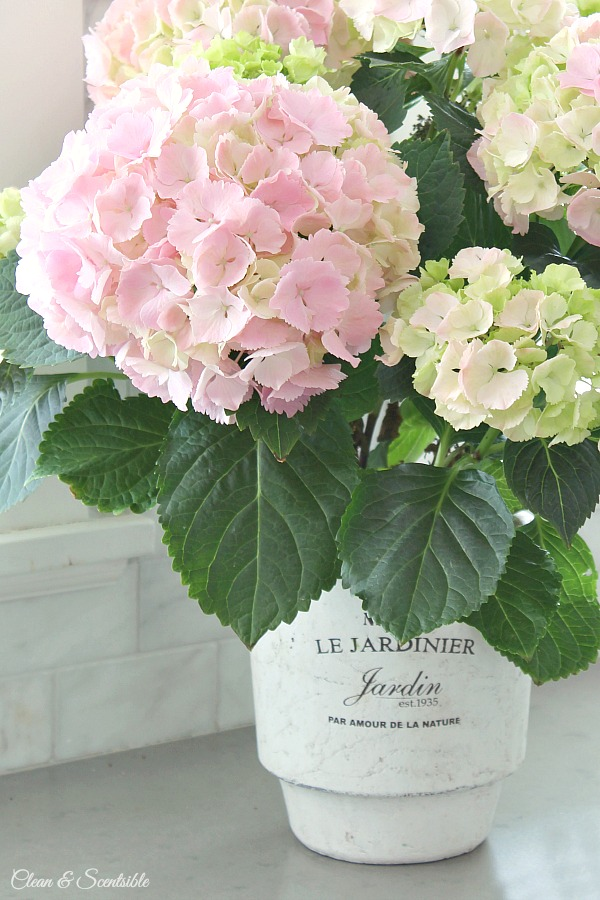 Tips on how to maintain potted hydrangeas.