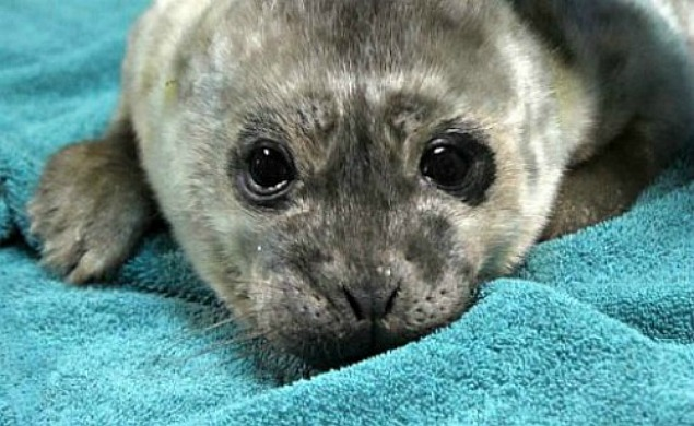 Baby seal from the Marine Mammal Center.