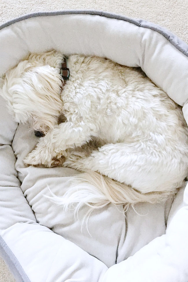 Cute poodle-maltese cross dog curled up in his bed.