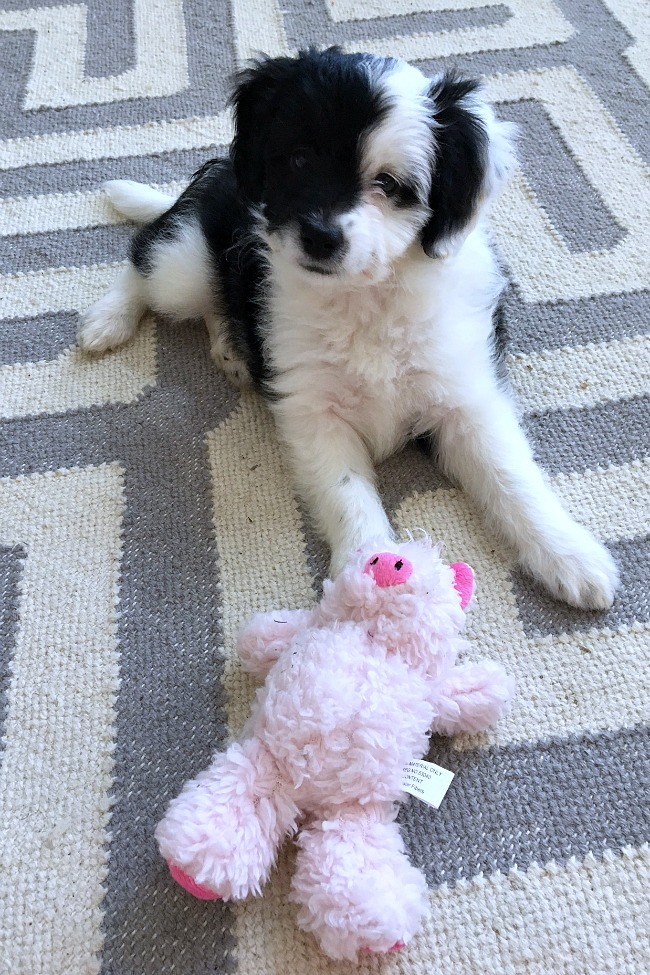 Havenese poodle cross puppy with a pig dog toy.