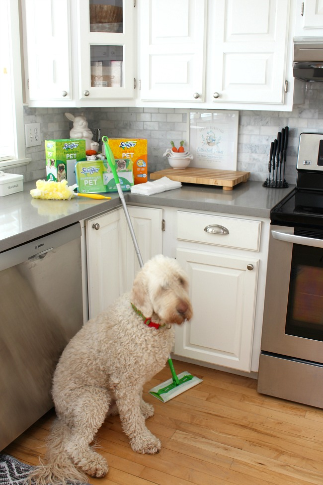 Golden doodle with Swiffer pet cleaning products.