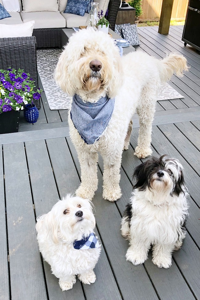 Three dogs - Golden Doodle, Havenese, and a Multipoo - on a patio.