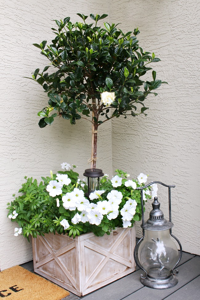 Summer planter with a magnolia topiary and white flowers.