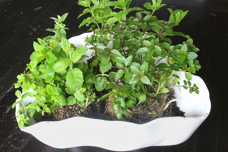 Herb planter summer centerpiece step 3 - 3 varieties of mint herbs in a white container.