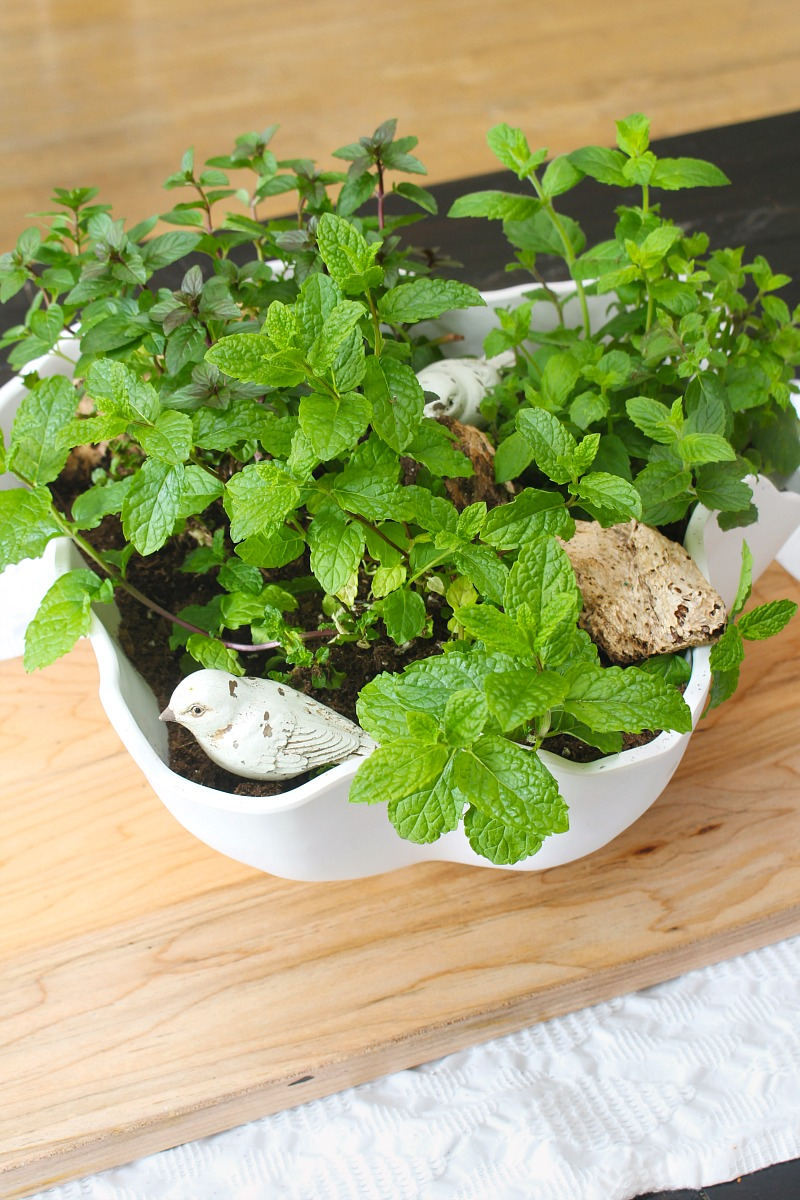 Mint herb planter centerpiece in a white bowl.