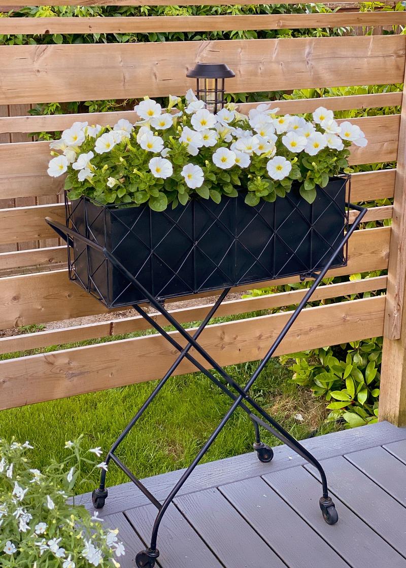 Vintage inspired black planter with white petunias.