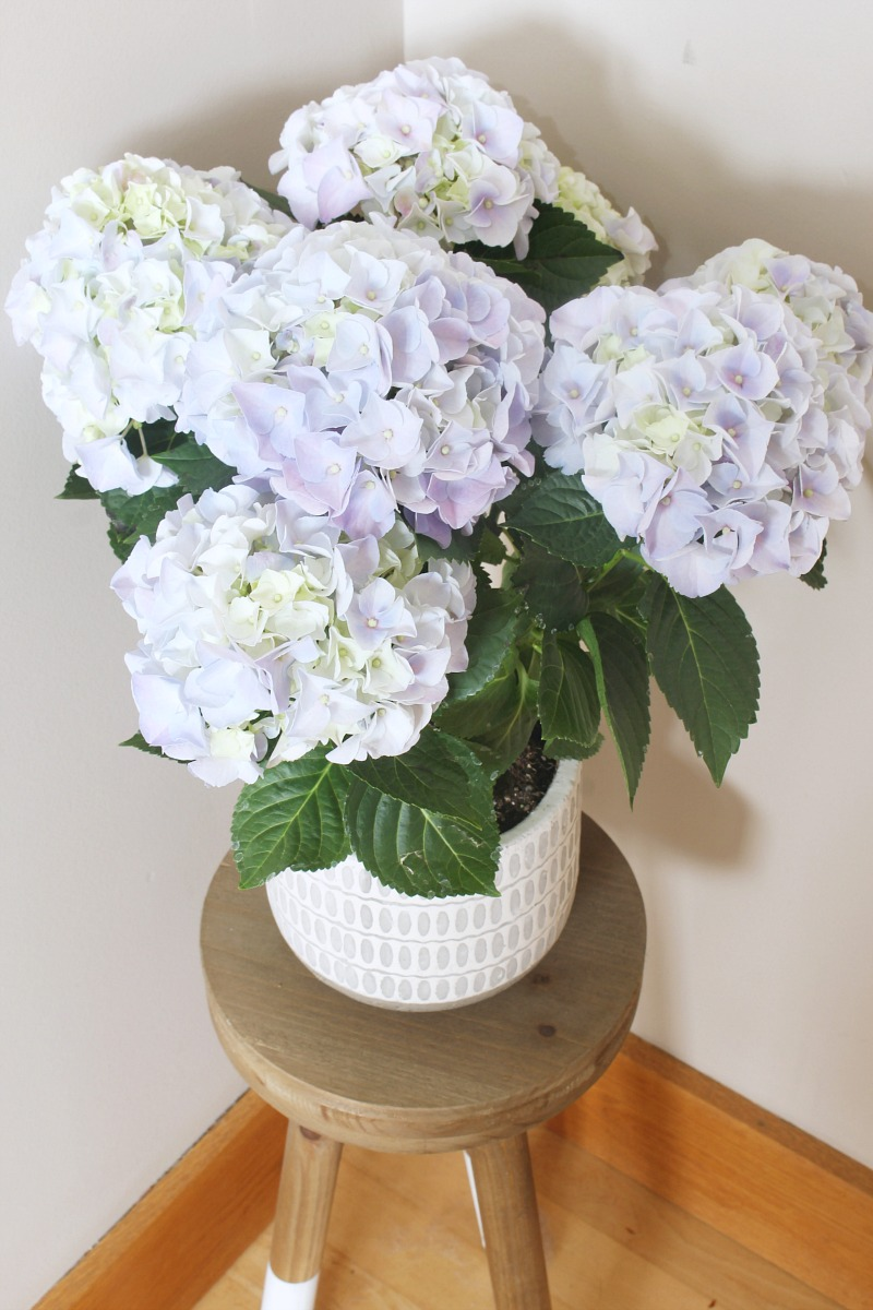 Indoor hydrangeas in a pot for summer decor.