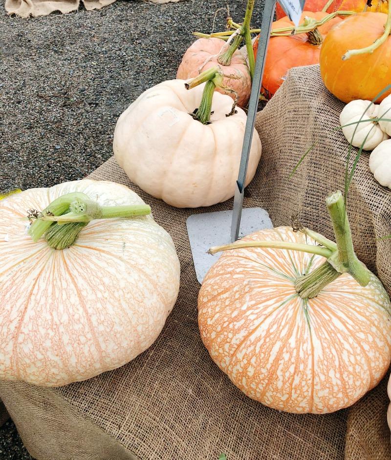 Pumpkins at a pumpkin farm.